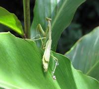 Costa Rica praying mantis