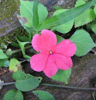 chino flower
