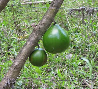 Jicarillo tree