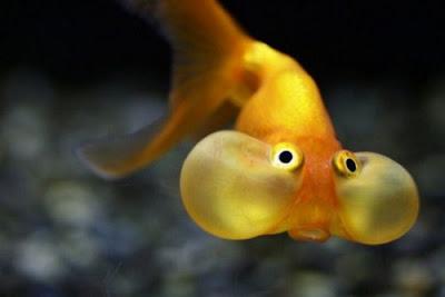 غرائب وعجائب سمكة العين الفقاعية الذهبية
