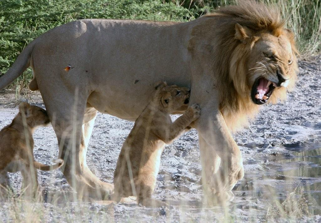 Lion cubs and father