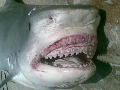 سمكة قرش شرم الشيخ التى إلتهمت ذراع وساق السائحين والتى تم إصطيادها
