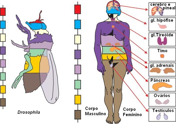 Importância da drosophila melanogaster para a ciência 4