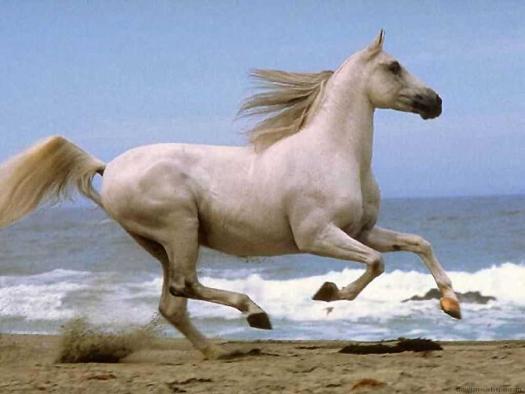 White running horses - photo#38