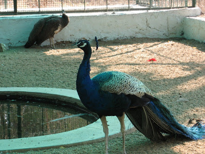 Peacock in Jogimatti zoo