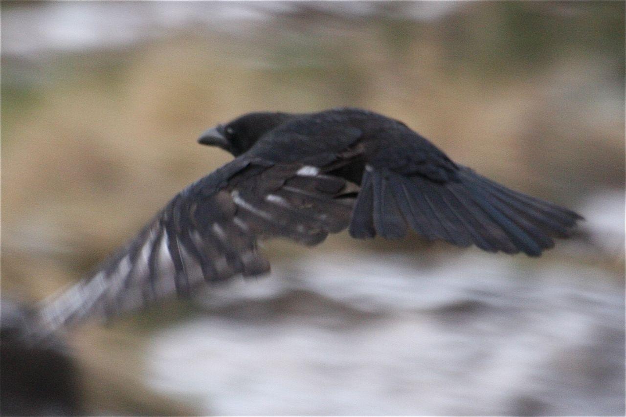 Morgithology Feather De Pigmentation In Carrion Crow