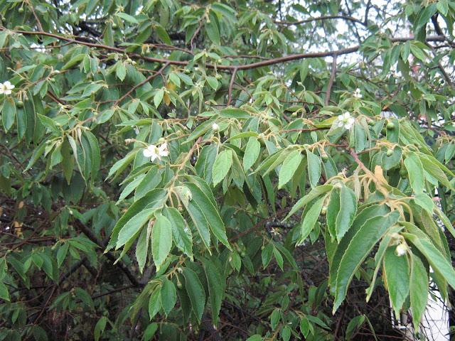 pau-seda, cereja-jamaicana, panamá-bagas, singapura-cereja, strawberry-árvore. Na Espanha: bolaina yamanaza, cacaniqua, capulín blanco, nigua, niguito, memizo ou memiso. Nas Filipinas: aratilis, aratiles, manzanitas.