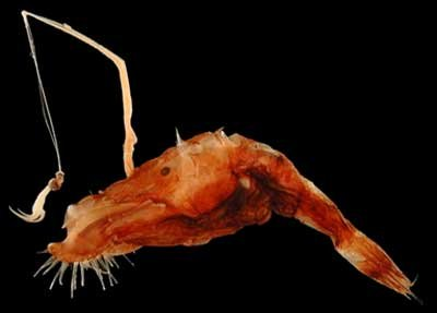 wolf-trap%252Banglerfish.jpg