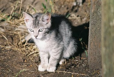photo gray feral tabby kitten cat