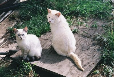 picture of two white feral cats, a white queen and a white kitten