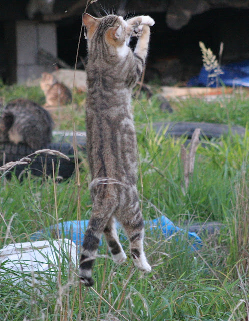 Tabby feral cat leaps in the air to catch a bug