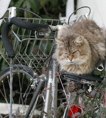 feral cat on a bicycle photo