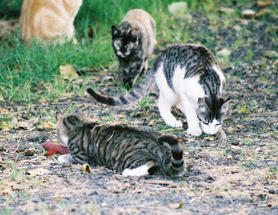 Feral cats wrestle with toy snakey mouse
