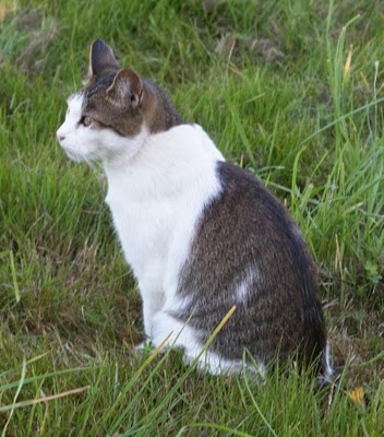 Lucy the former feral cat, bobtail pet, enjoys life in the summer grass