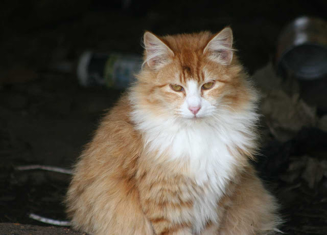Son of Son of Sick boy, Fluffy orange feral tomcat