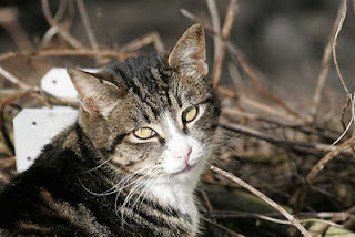 closeup of a cute feral cat, a tuxedo type tabby