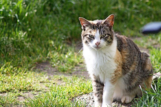beautiful feral cat tabbyco, a tabby tortie mix. Lost to veterinary malpractice, rest in peace