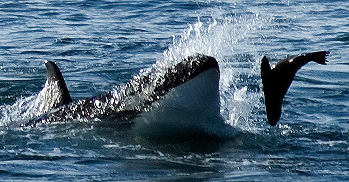 Orca Season in Punta Norte Peninsula Valdes Patagonia Argentina