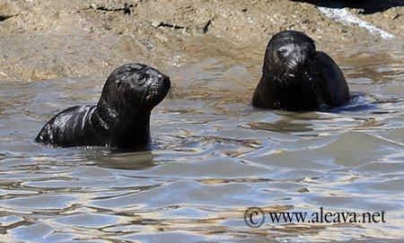 lobatos marinos recien nacidos en Punta Pirámide Peninsula Valdes