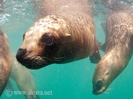 snorkel con lobos marinos puerto madryn