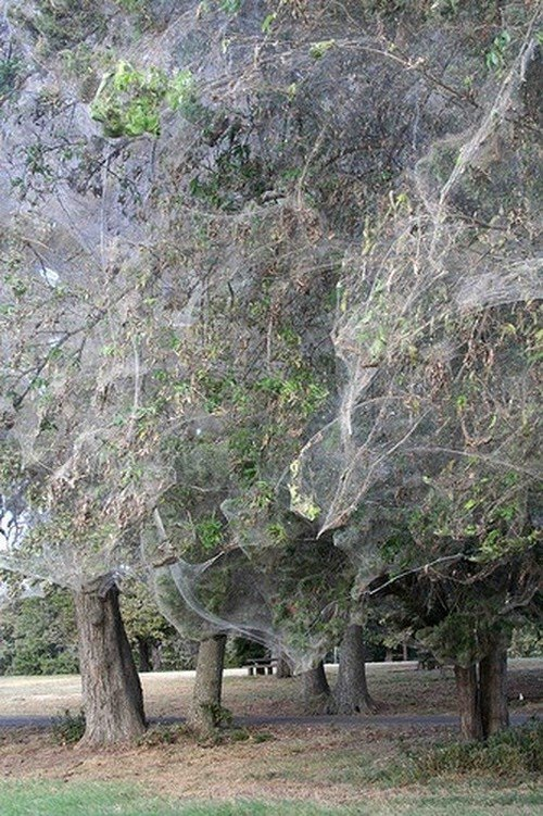Giant spiderweb in texas