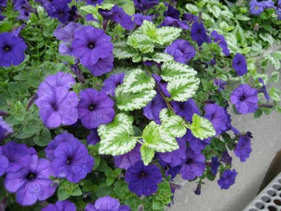 Blue-purple petunias with a silver and green leafed plant growing through them
