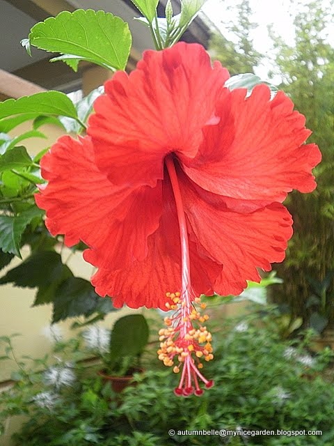 My Nice Garden Hibiscus The National Flower Of Malaysia