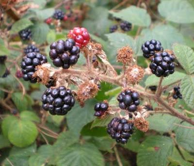 black bobbly fruit on a spiny plant
