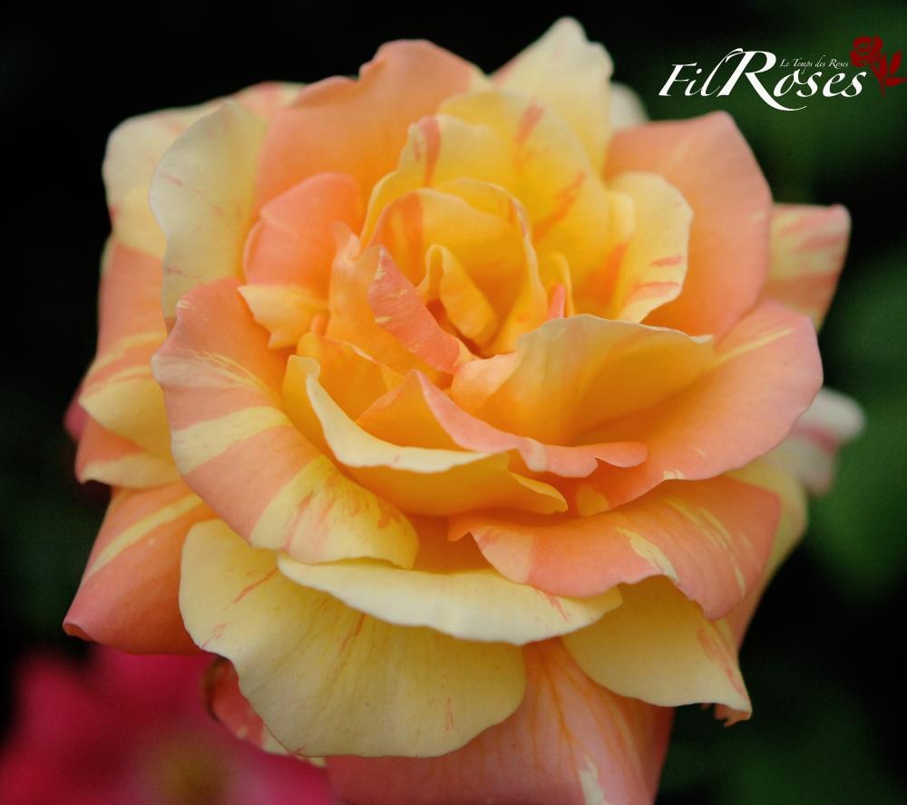 Couper Les Rosiers En Octobre la passion des rosiers à la pépinière fil roses: une