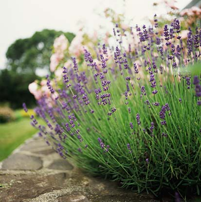 All Things Lavender A Blog By Jennifer Vasich Growing Lavender