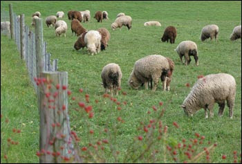 sheep by fence