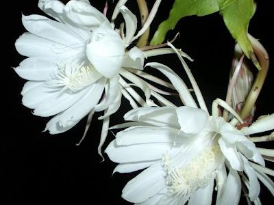 Resultado de imagem para dama da noite flor significado