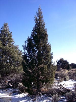 Christmas Tree In The Desert.Desert Survivor In Search Of The Perfect Christmas Tree