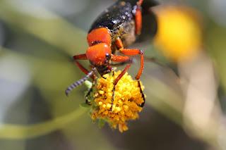 The desert blister beetle (Lytta magister)