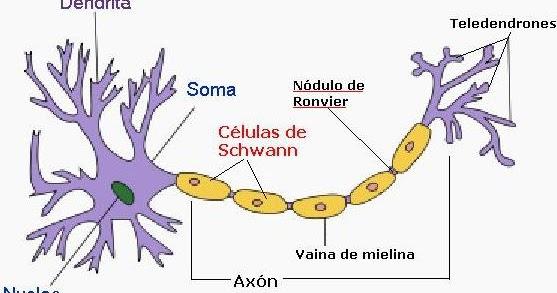 Worm Treatment Nódulo De Ranvier
