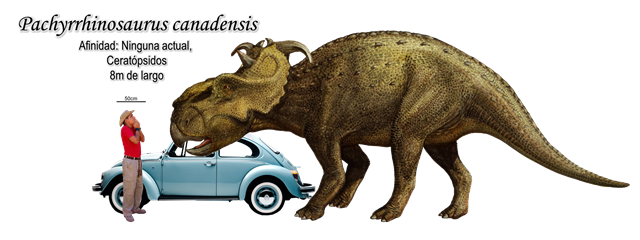 Pachyrrhinosaurus canadensis a escala