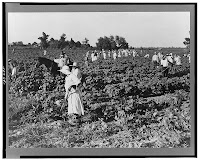 Mississippi Plantation  Cotton Pickers