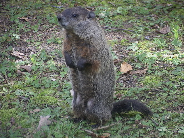 The Liebers: Groundhogs Versus Mothers: A Field Guide