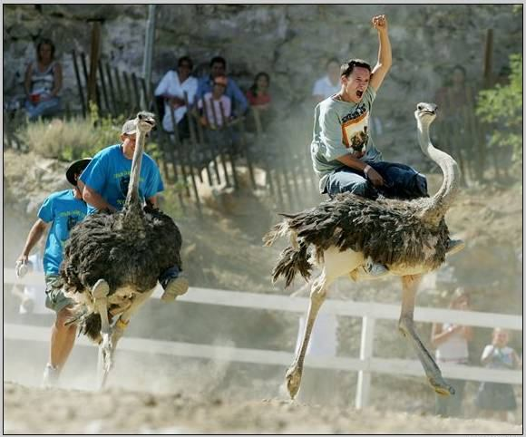 """Amaze Pics & Vids: """"Ostrich Festival"""" Ostrich Race Photos ..."""
