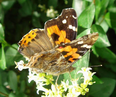 Indian Red Admiral Butterfly