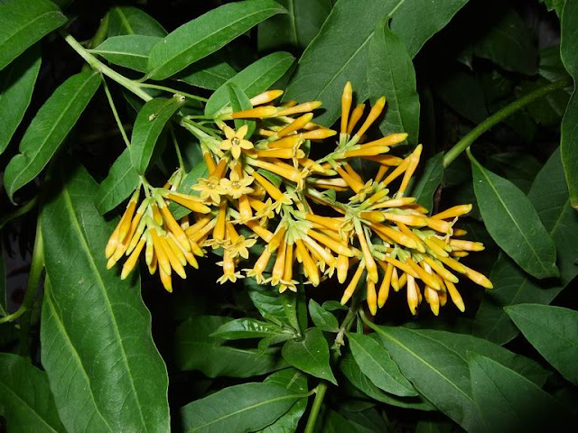 Yellow Cestrum Blooms