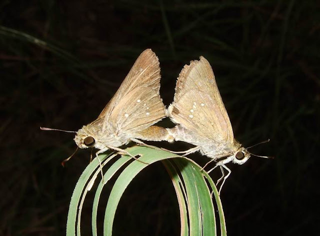 Skipper Butterflies Mating