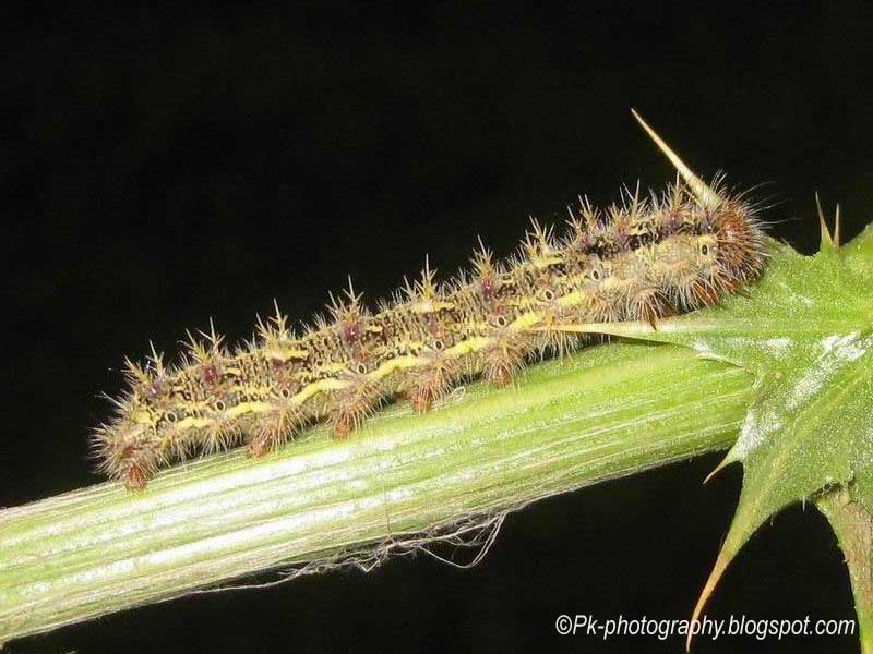 painted lady butterfly caterpillar - photo #25