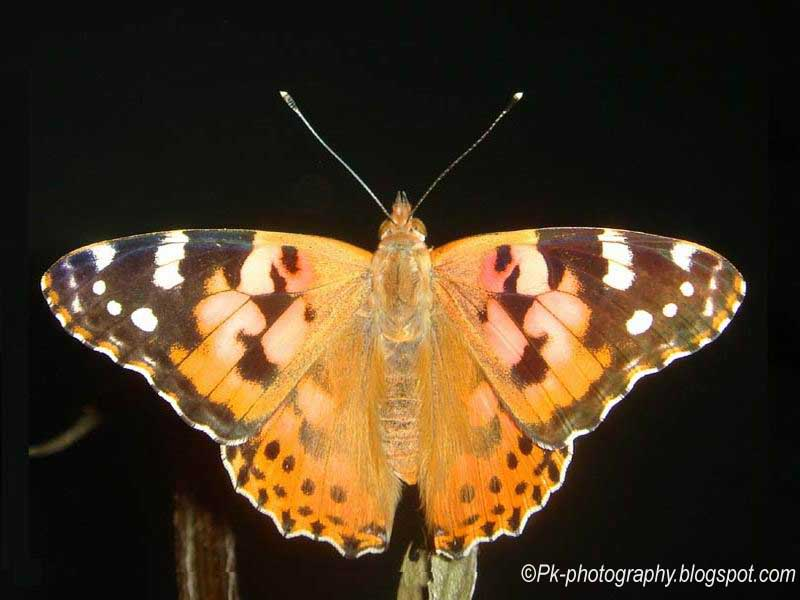 Painted Lady Butterfly Colours