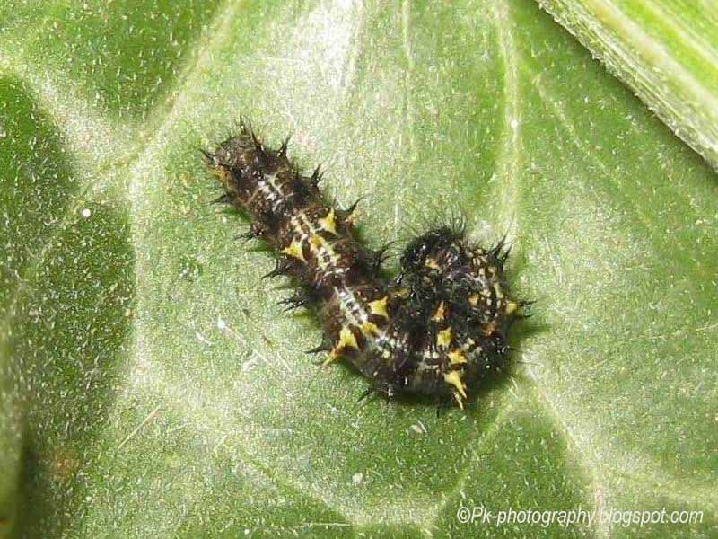 painted lady butterfly caterpillar - photo #3