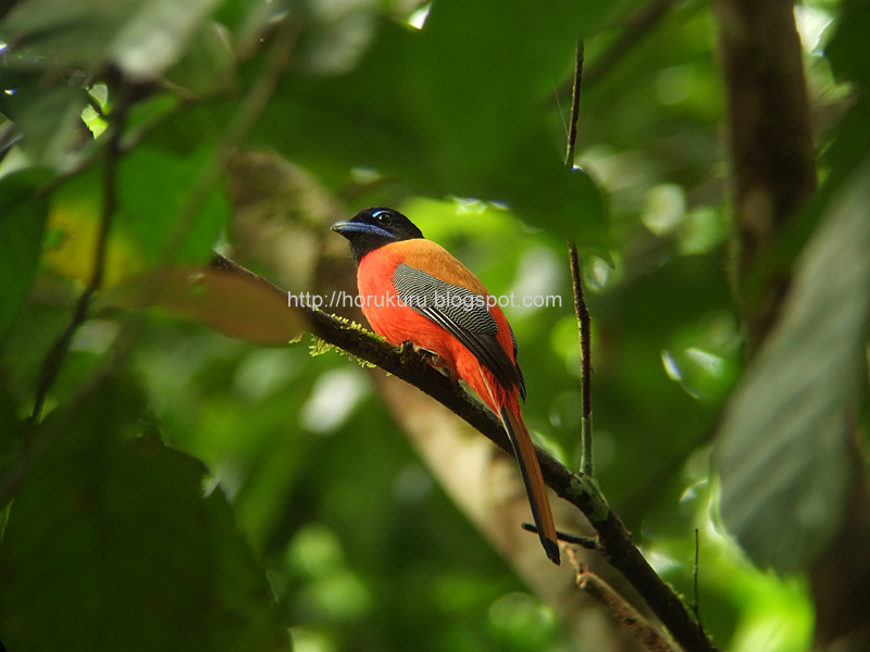 94 species of birds in 1 day at Tabin Wildlife Reserve