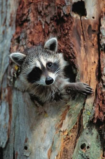 Me And Chant Raccoon