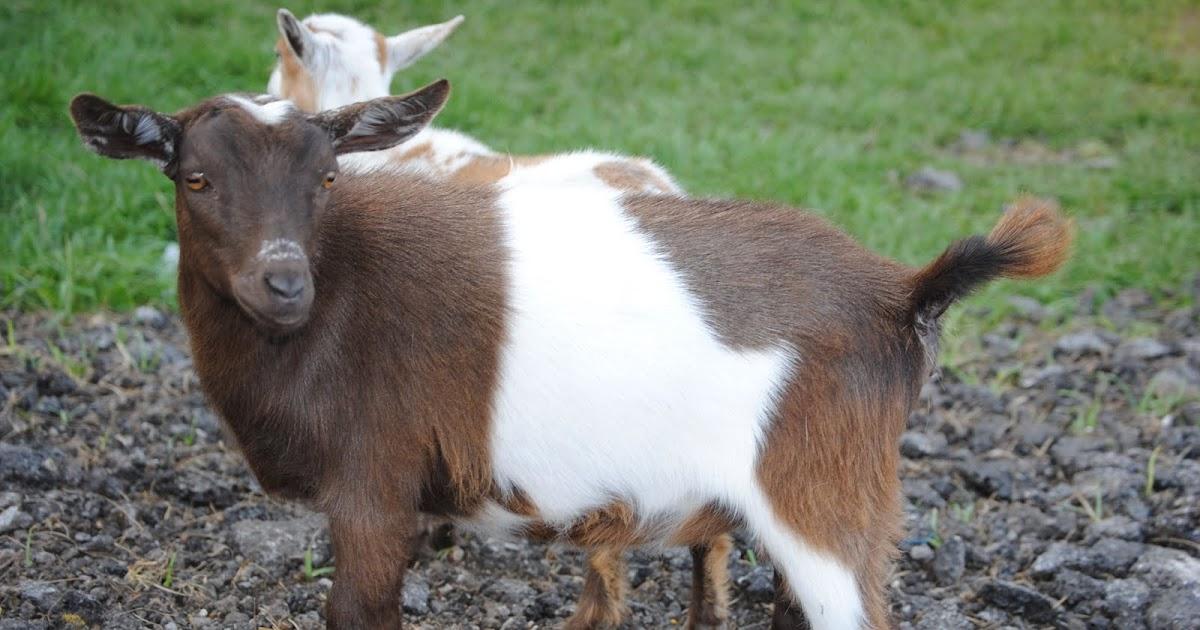 Bikini Naked Girl And Goats Jpg