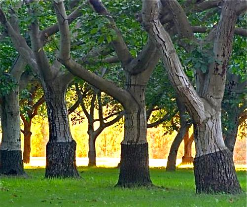 The Farmer Fred® Rant: Walnut Trees At Risk in November Freeze