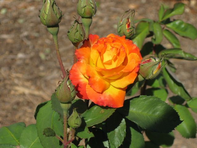 The Farmer Fred Rant 100 Plus Rose Varieties For California